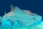 シノノメサカタザメ