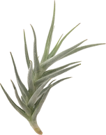 Tillandsia paleacea minor