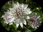 fleur de montagne - appartement grande astrance