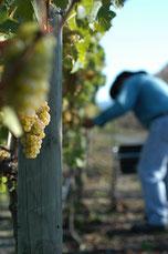 Weißwein Ernte in Neuseeland 2016
