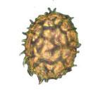 Die Verbreitungsorgane der Pilze, die durch vorherige Befruchtung entstehen, nennt man Sporen (Samen der Trüffel)