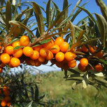 Hippophae rhamnoides 'Friesdorfer Orange'