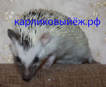 Карликовый Ёж, Algerian Dark Grey Tobiano Pinto with Partial Blaze Raccoon Eyes and Mismatched Ears