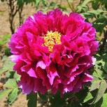 紫色の牡丹