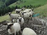 Shropshire Bio Schafe