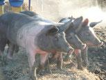 Schwäbisch Hällischen Sattelschweine