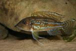 гнатохромис, гнатохромис пфефери, Gnathochromis, Gnathochromis permaxillaris, Gnathochromis permaxillaris chituta, permaxillaris, chituta
