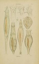 HistoireNaturellesZoophytes.