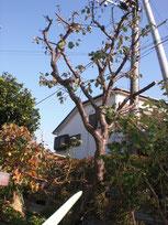 剪定でスッキリした梅の木