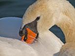 Schwäne, Wasservögel