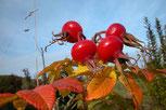 Apfelrose / Kartoffelrose