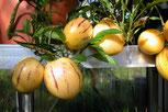 Pepino (Melonenbirne)