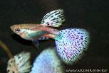 L144 Аncistrus sp. Blue eyes (L 144 Анциструс-стрекоза жёлтый голубоглазый,бородатый самец)