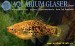 Aulonocara spec. Lwanda yellow top F2 Males