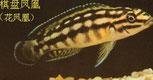 Julidochromis marlievri