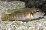 Lepidio. speciosus Black