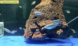Cyprichromis leptosoma Jumbo Kitumba Albino