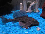 Labeo frenatus Glo (Лабео зелёный Glo-Fish: Пурпурные, Синие, Черничные )