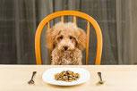 un chien caniche assis sur une chaise devant une assiette par coach canin 16 educateur canin en charente