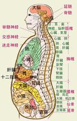 この図から、これらの脊髄神経系と背骨、内蔵の対応関係の概要を表わしています。 これを見れば背骨の重要性を再認識していただけると思います。