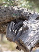 Olivenbaum Alacati 2005