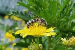 きんけいぎくとミツバチ