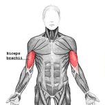 anatomie spieren biceps