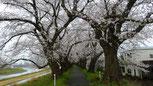 足羽川の桜(R2)