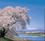 白石川一目千本桜
