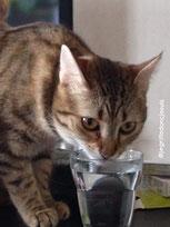 chat qui boit dans un verre