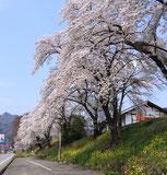 おぎのや横川店付近の桜