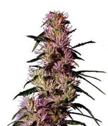 cannabis sativa plante