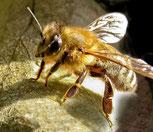 Die dunkle Honigbiene (Apis mellifera mellifera)