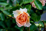 Sanghäuser Jubiläums Rose