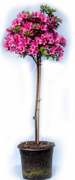 Rhododendron-Stämmchen
