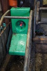 An diesem Nuckel können Sarah und die anderen Kälber die Milch heraussaugen.