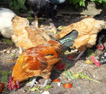 donner des graines de blé aux poules