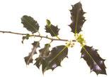 Bach Blüten Nr. 15 Holly Stechpalme