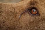 l'oeil d'un chien marron fauve qui pleure par coach canin 16 educateur canin à angouleme, cognac, st jean d'angely