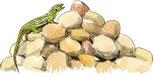 Lézard ocellé (Timon lepidus)