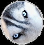 husky elevage yeux bleus