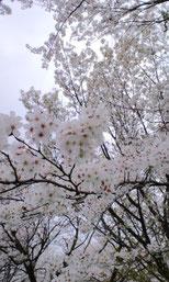 桜も満開でした!