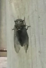 Picture of a noisy bug (Cicada) on a line post