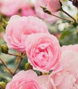 soin a l'eau de rose