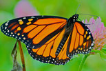 A Monarch Butterfly, the Adult stage of complex metamorphosis.