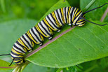 A Monarch caterpillar, the Larva stage of complex metamorphosis.