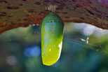 A Monarch chrysalis, the Pupa stage of complex metamorphosis.