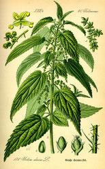 Urtica dioica; un engrais naturel