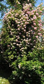 Un très beau rosier chez René