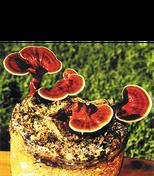 Notre Reishi Plus de LR contient 75 % des besoins (RDA) en vitamine C